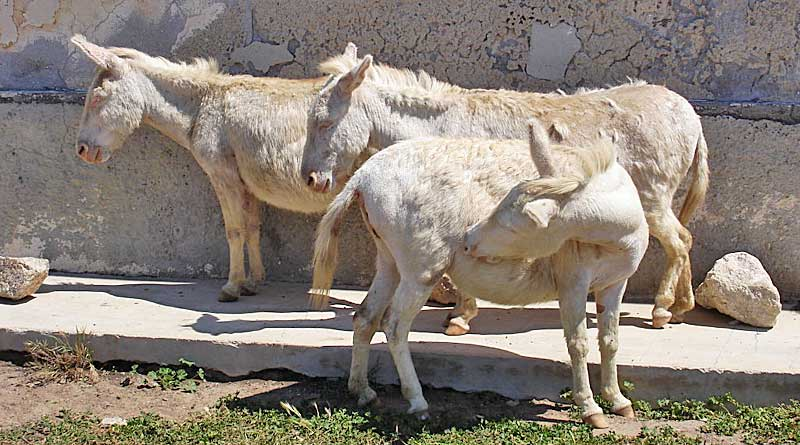 albino-donkeys-assinara-800x445