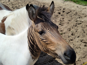 Zebroid, photo courtesy Christine and David Schmitt
