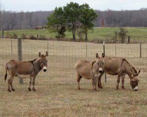 3-donkeys