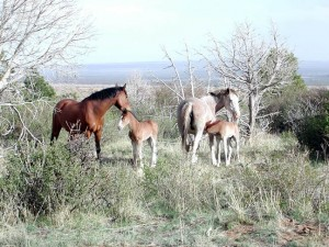 Mesa Verde Wild Horses