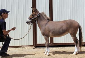 Miniature Mule