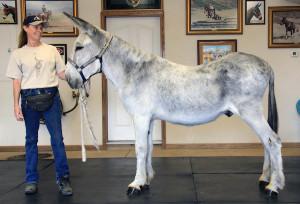 MuleFacts-Large Standard Donkey