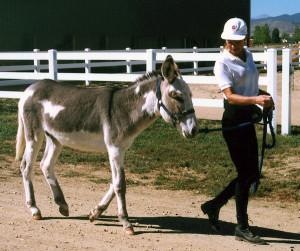 Standard Donkey