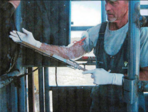 Photo of a veterinarian with a chain ecraseur being used during an ovariectomy.