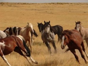 saylor creek horses