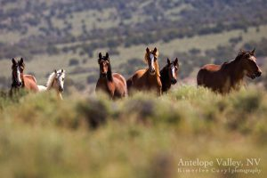 Some of the wild horses near Elko, Nevada that the BLM wants to round up. Photo | Kimerlee Curyl