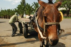 Four charities joined forces to promote global working equid welfare standards adopted this year by the World Organization for Animal Health. Photo: iStock
